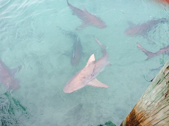 Bull_shark_marina_bimin_0