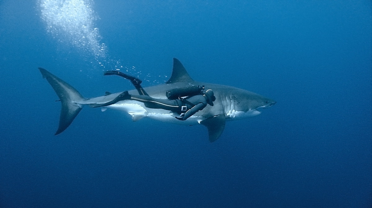 images of great white sharks - photo #16