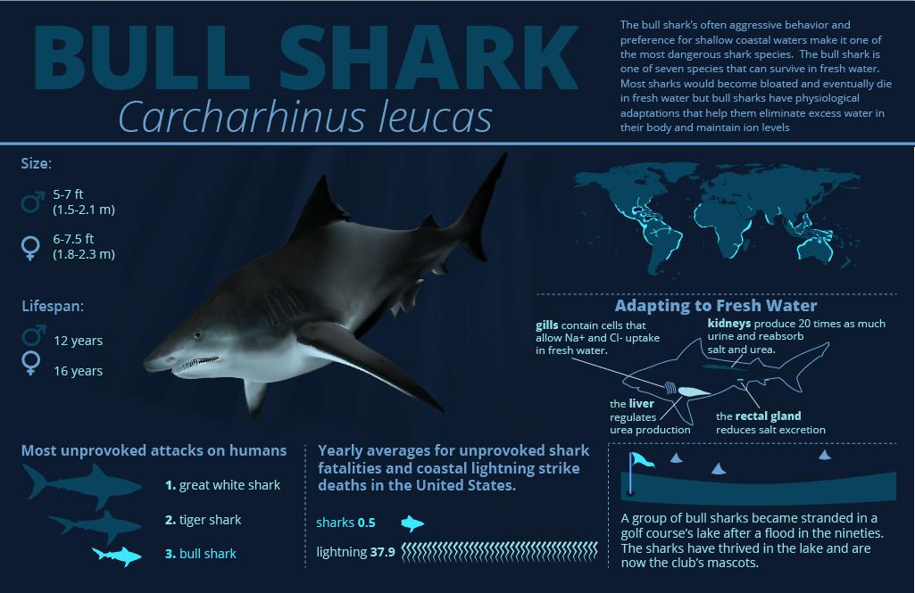 bull shark facts - The Sharkives