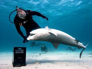 Tiger_shark_shark_alley_3