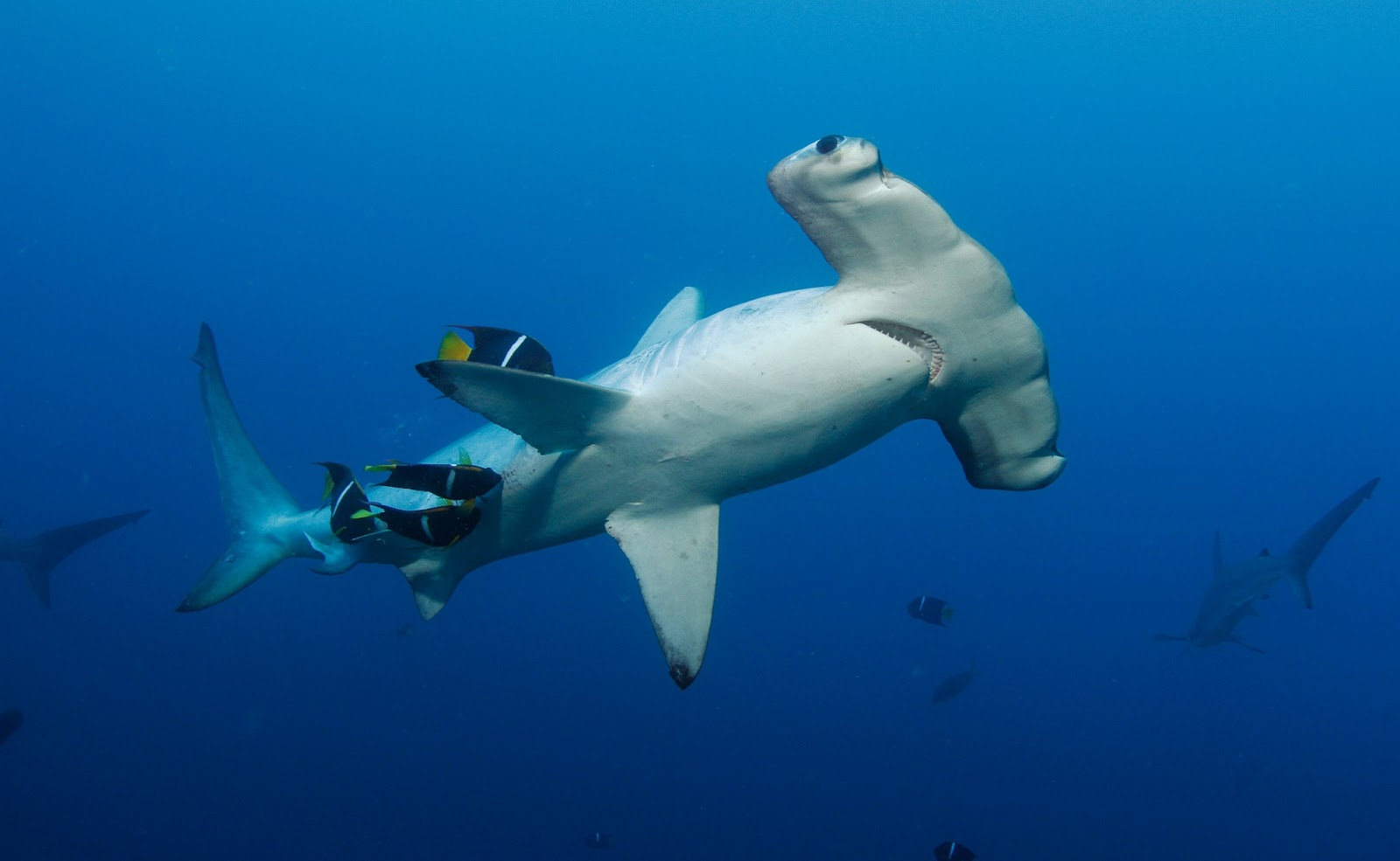 Biggest Hammerhead Shark Ever Caught