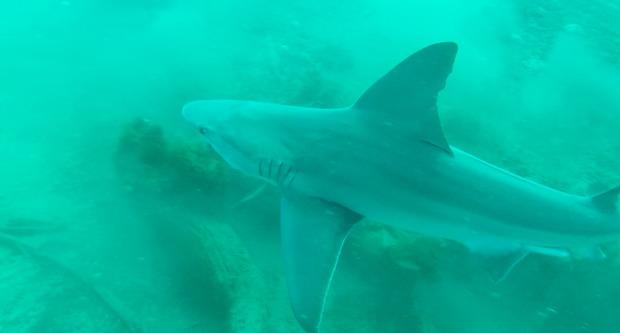 Ben_raines_sandbar_shark_