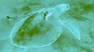 Endangered Kemps Ridley Turtle live in the forrest