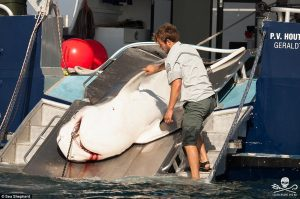 Tiger_shark_cull_new