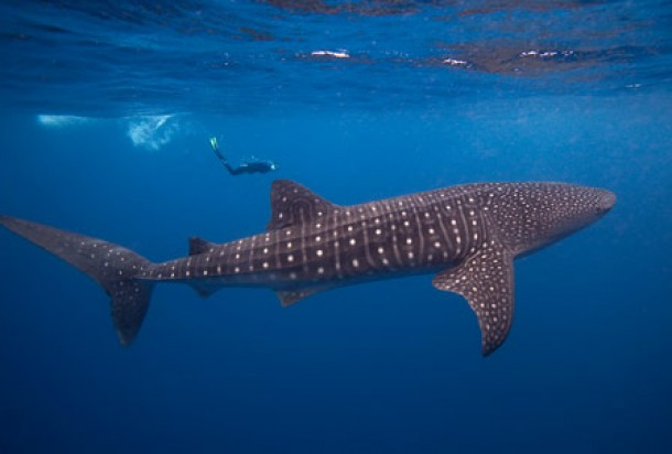 Head To Cancun For The Summer Migration Of Whale Sharks