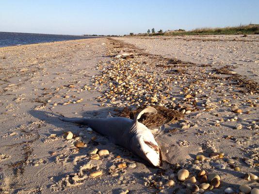 Unintended netting lands dozens of sharks on beach for Fishing in delaware