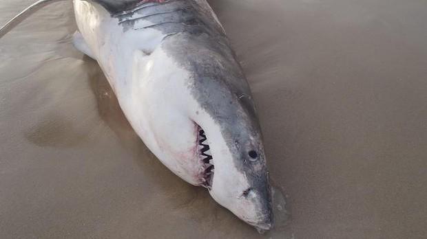 White_shark_chokes_2