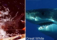 porbeagle compared to great white shark
