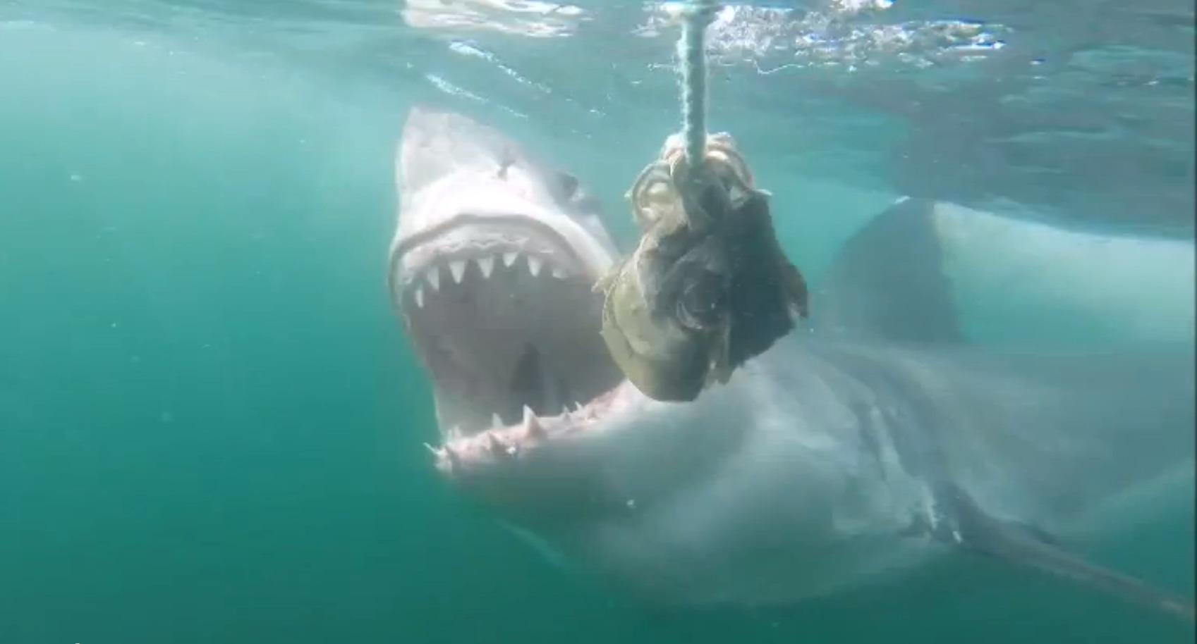 great_white_shark_3
