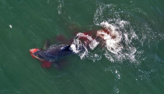 Shark munches on seal - Tracking Sharks