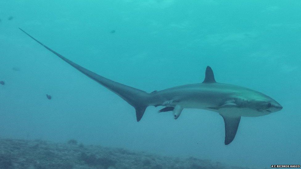 SHark_thresher_birth