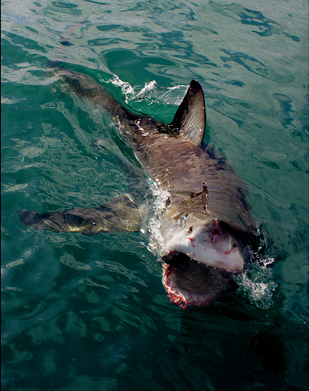 Great white shark off washington coast tracking sharks for Shark fishing in florida