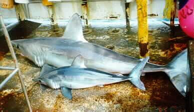 """""""Porbeagle two sizes"""" by NOAA"""