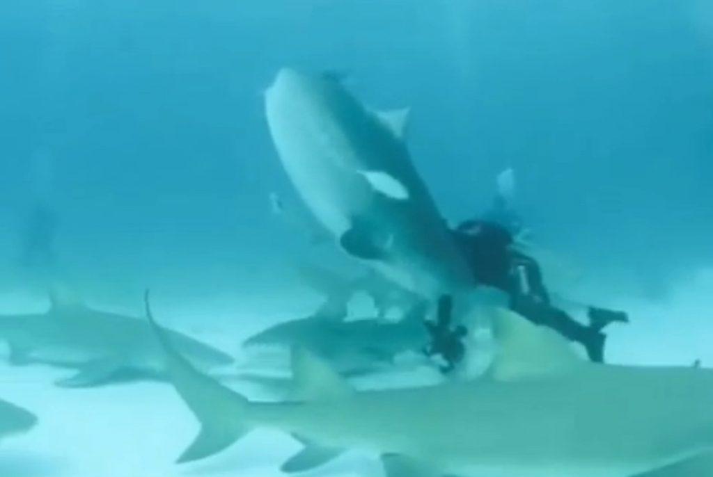 tiger_shark_bites_divers_arm
