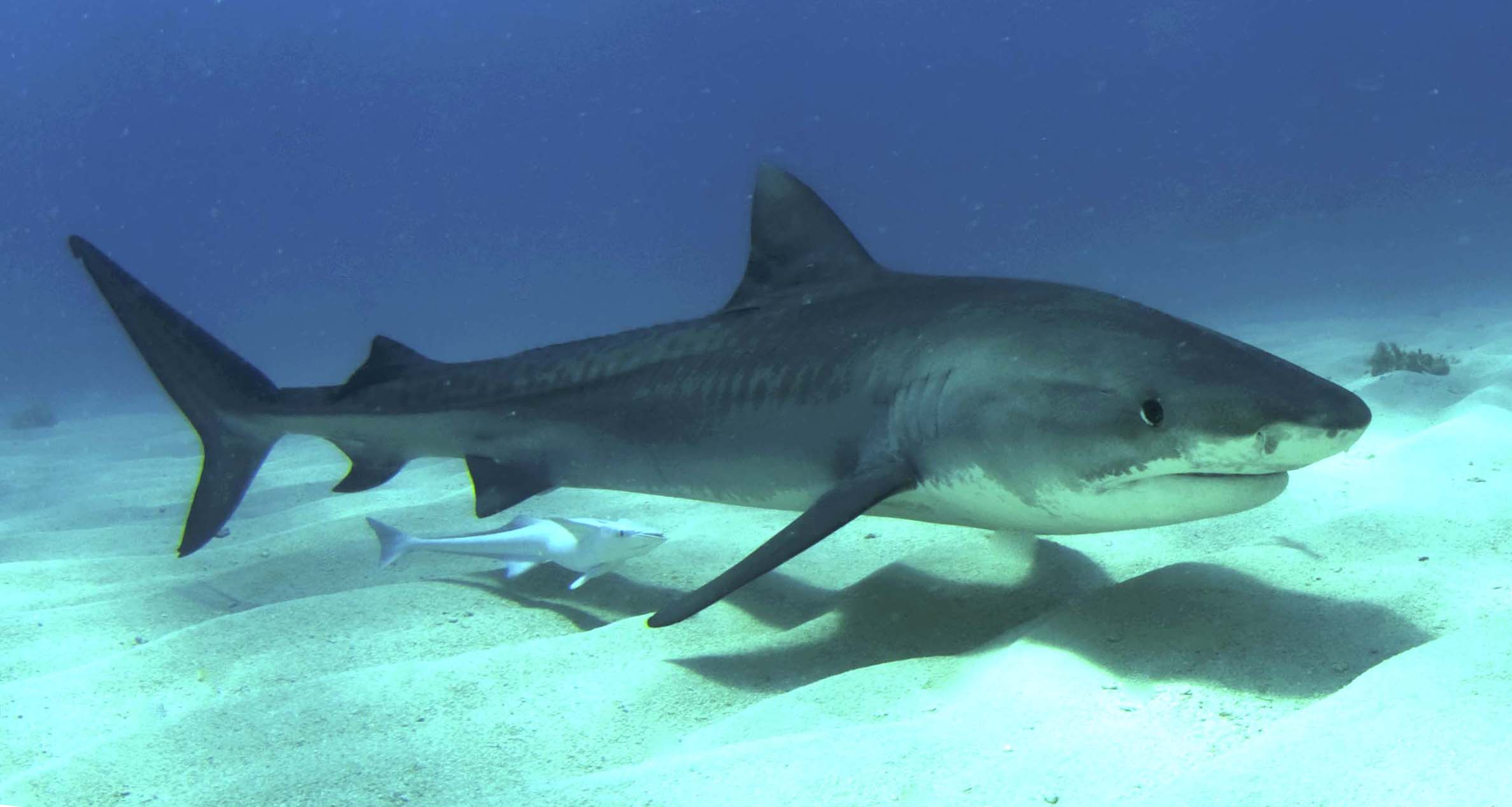 Tiger Shark in the Bahamas ©Albert Kok