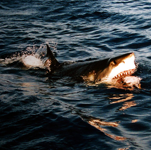 """""""Surfacing great white shark"""" by Brocken Inaglory. Licensed under CC BY-SA 3.0 via Wikimedia Commons -"""