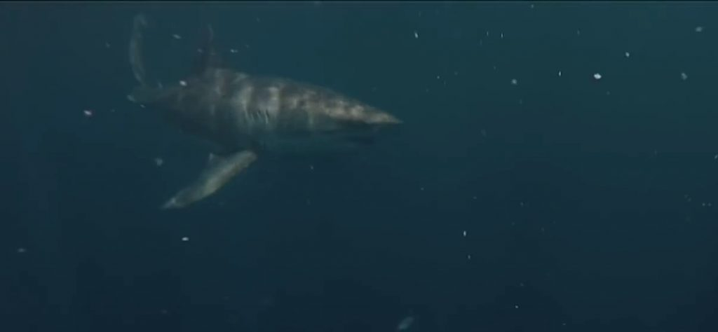 florida-shark-2