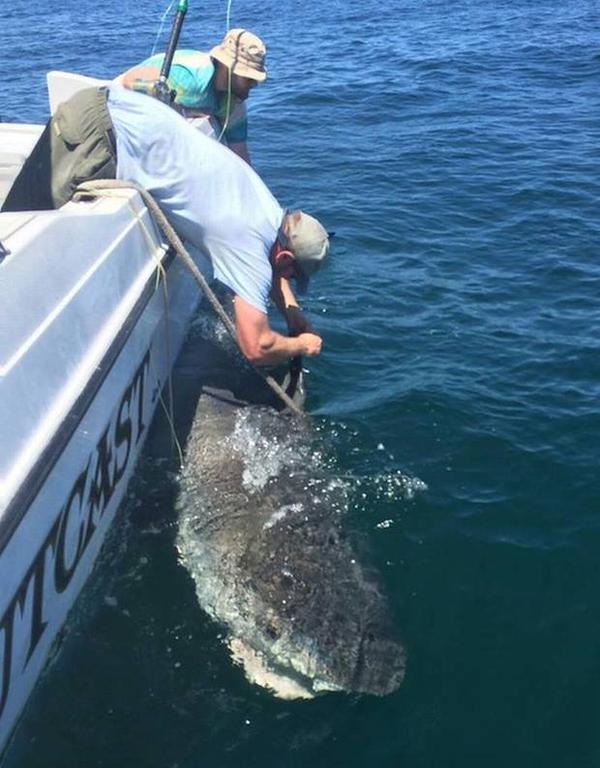 12ft tiger shark tagged tracking sharks for Hilton head surf fishing