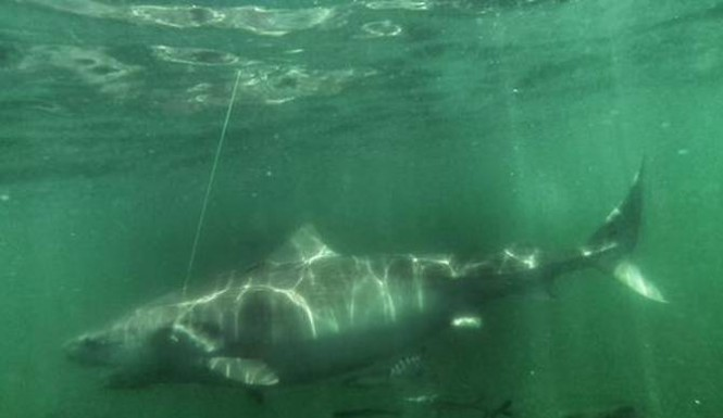 12ft Tiger shark tagge...