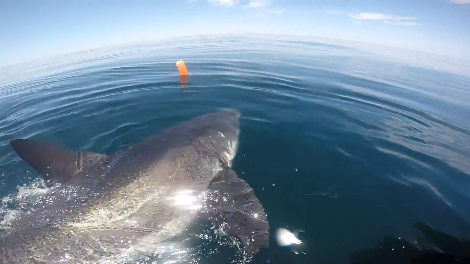 Great White Shark Munches On Whale In Ny Tracking Sharks