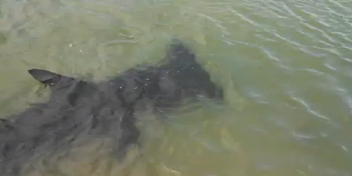 Pensacola Fl Beach Sharks