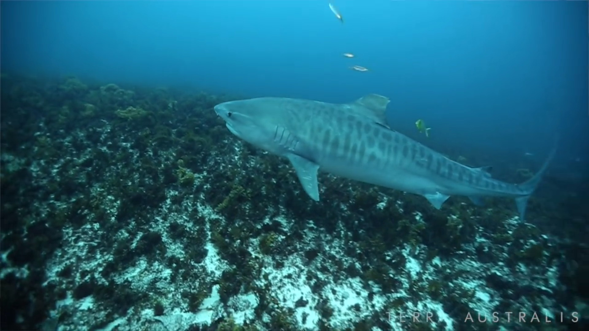 terra-australis-tiger-shark-0