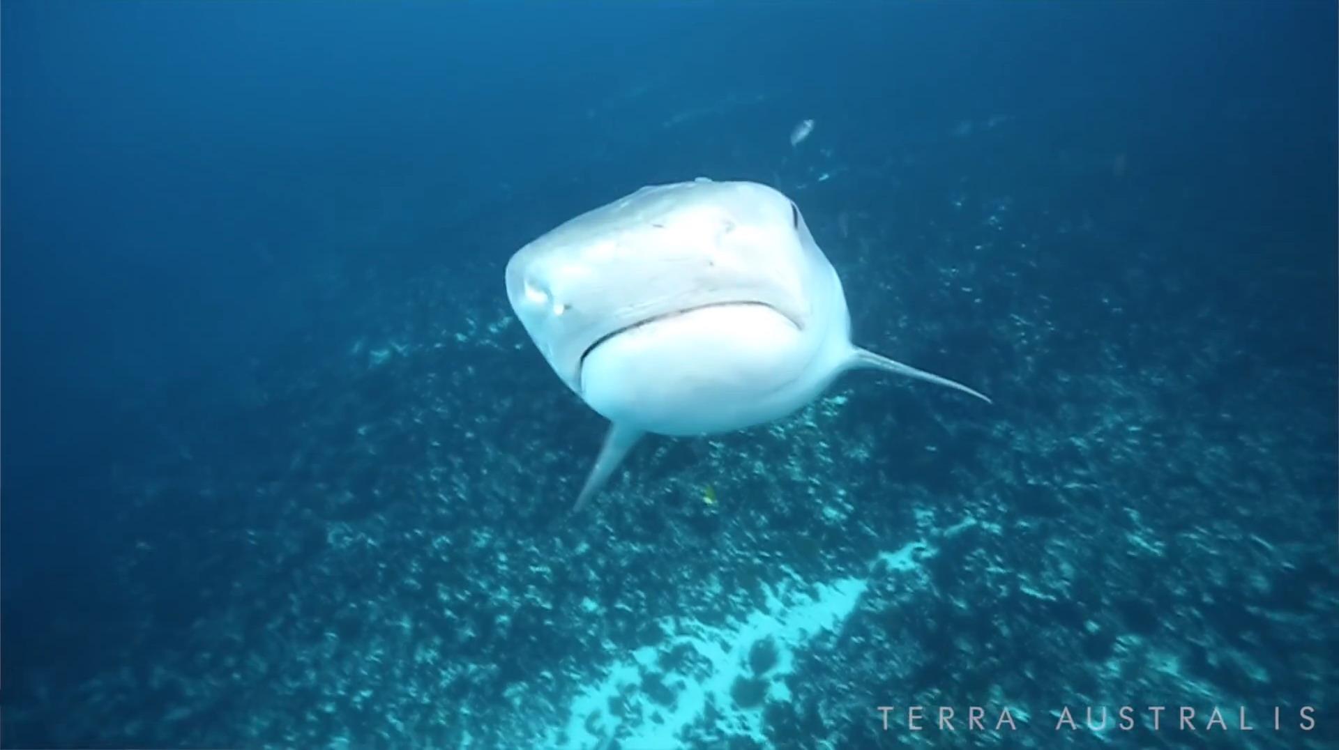 terra-australis-tiger-shark-2