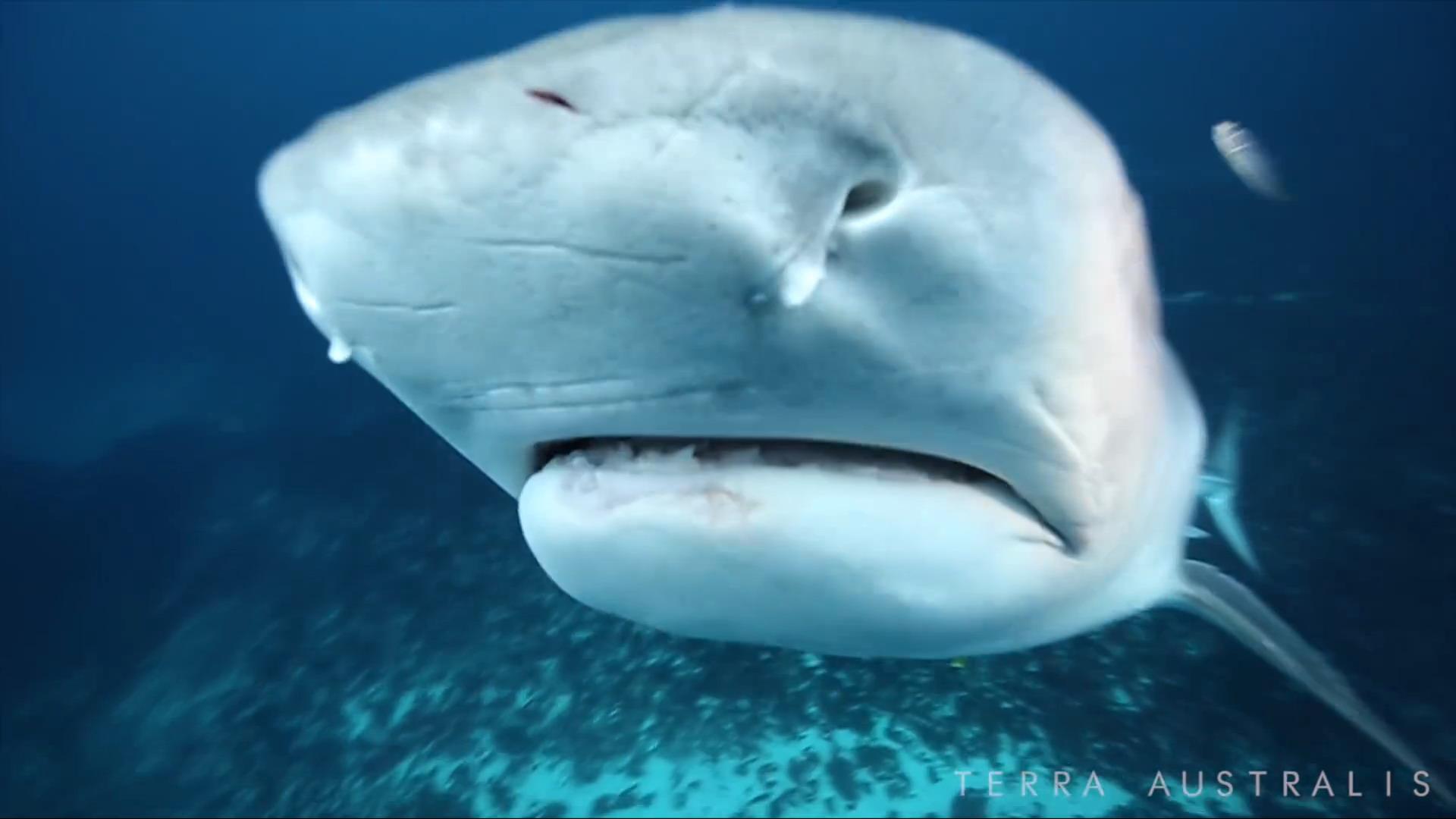 terra-australis-tiger-shark-4