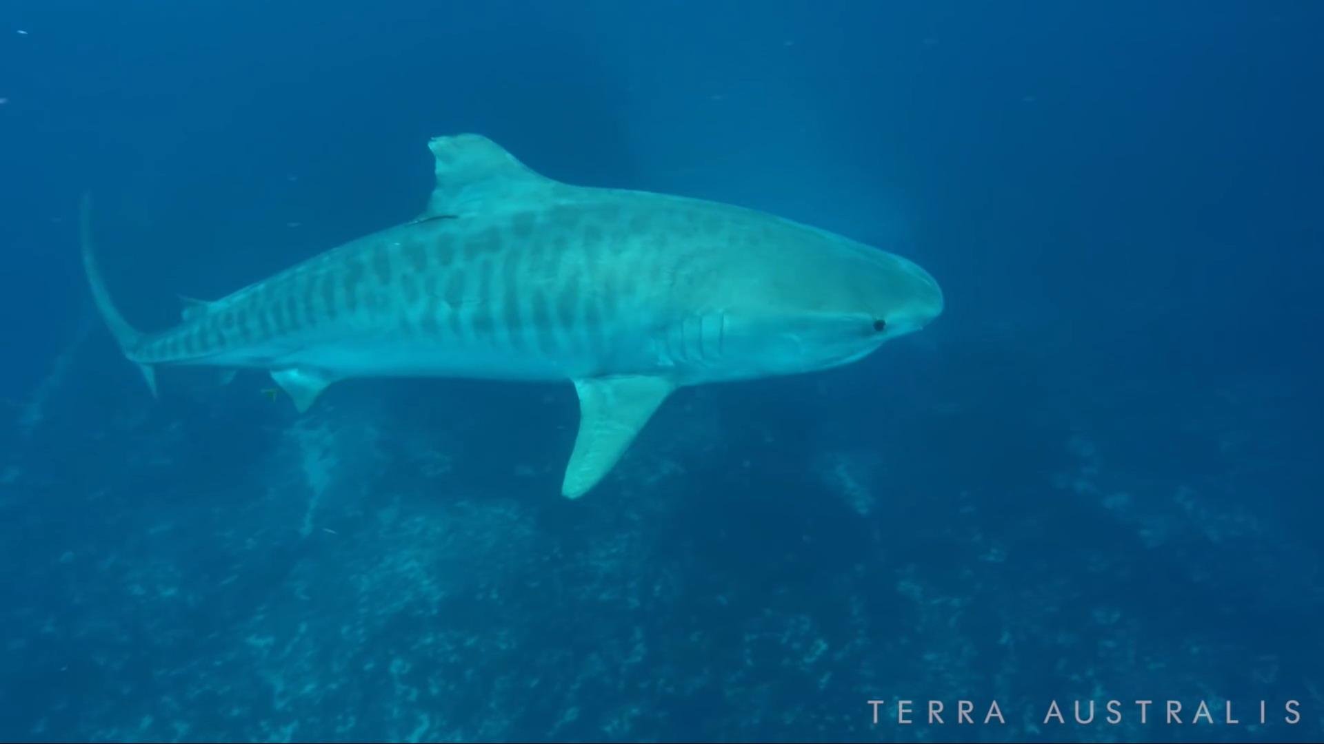 terra-australis-tiger-shark-5