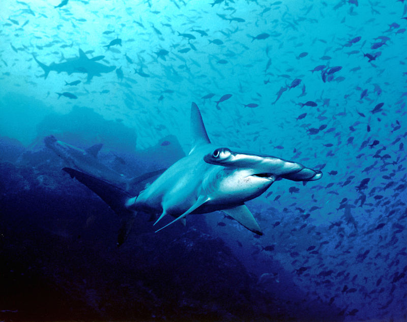 """Hammerhead shark, Cocos Island, Costa Rica"" by Barry Peters - Flickr. Licensed under CC BY 2.0 via Wikimedia Commons"