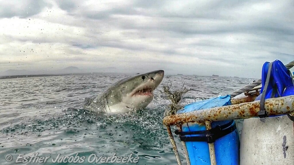 1-South-Africa-great-white-shark-breach-Esther-Jacobs-Overbeeke