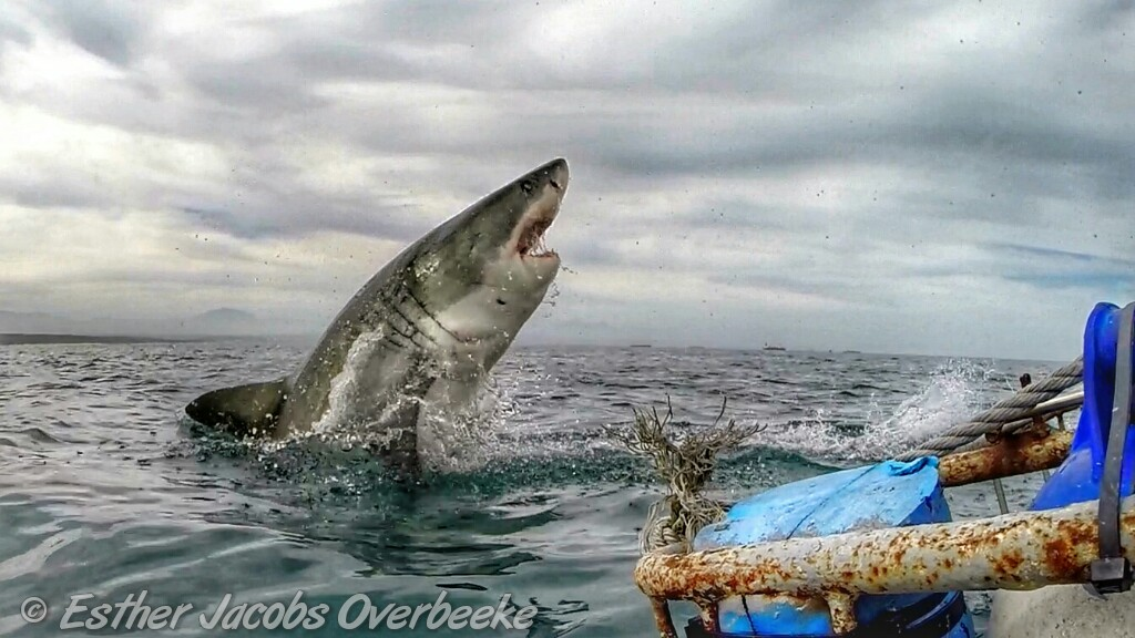 2-South-Africa-great-white-shark-breach-Esther-Jacobs-Overbeeke-3
