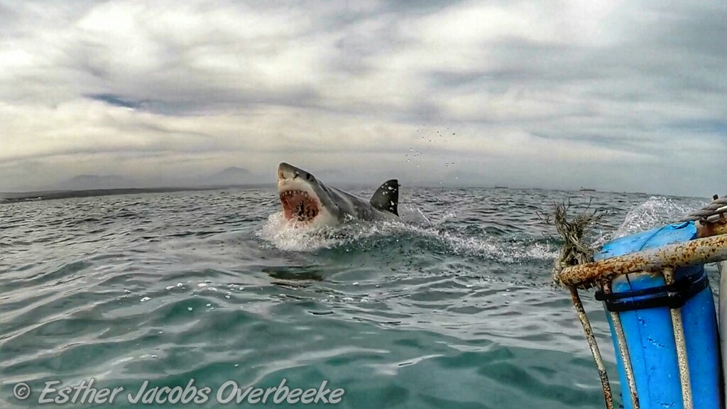 3-South-Africa-great-white-shark-breach-Esther-Jacobs-Overbeeke-2