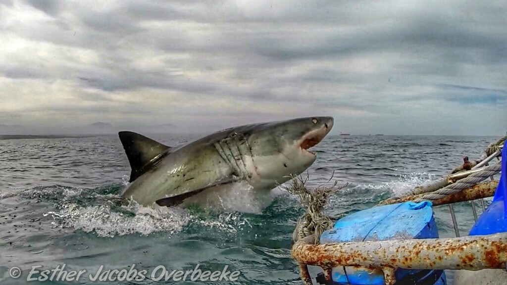 4-South-Africa-great-white-shark-breach-Esther-Jacobs-Overbeeke-4