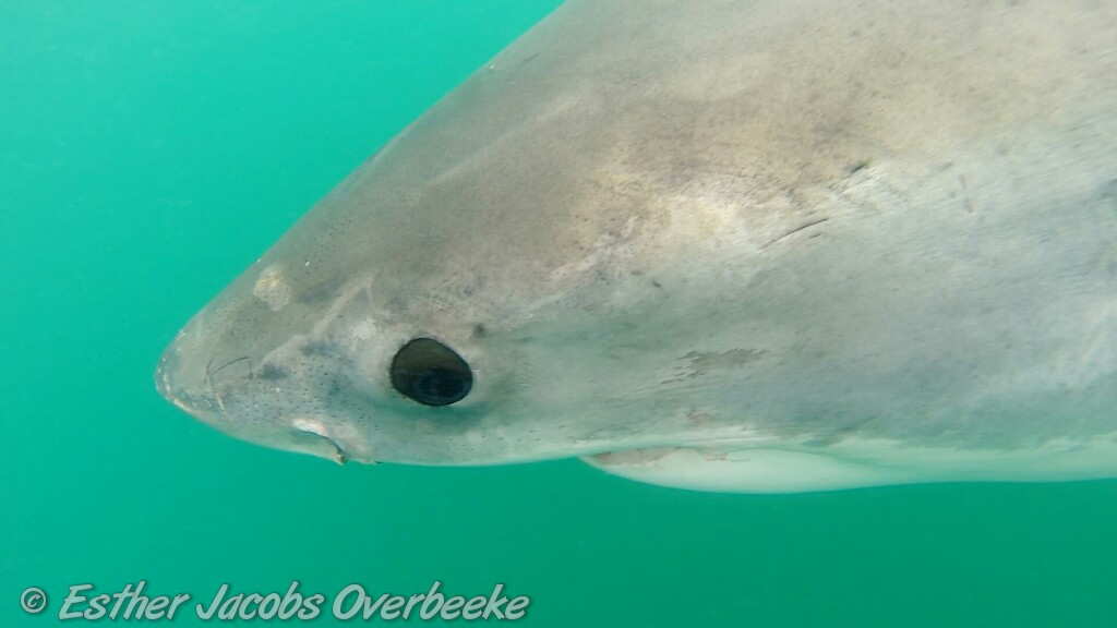 5-South-Africa-great-white-shark-breach-Esther-Jacobs-Overbeeke-5