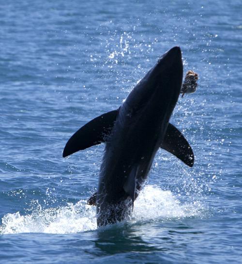 Brenda_2012OCEARCH_Great_white_shark