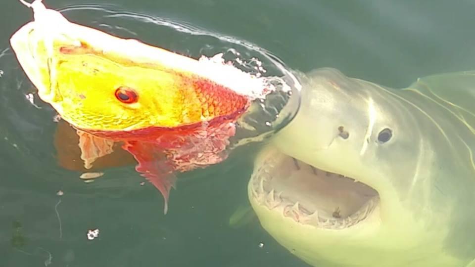 Florida+great_white_shark_1