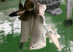 forward facing engine kills tiger shark