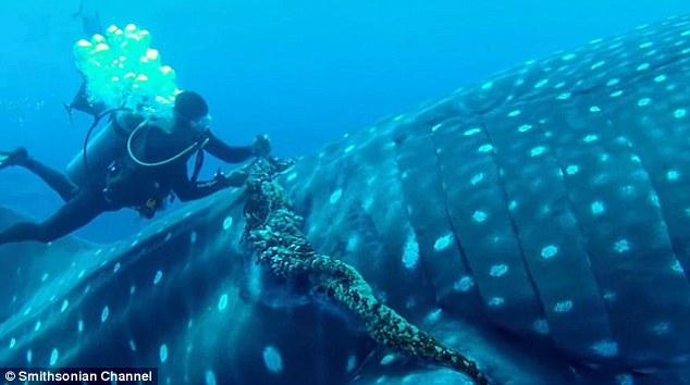 whale_shark_entanglement_2
