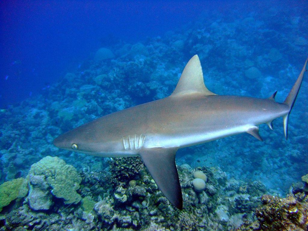 A female grey reef shark off Wake Island - PIFSC, NOAA -