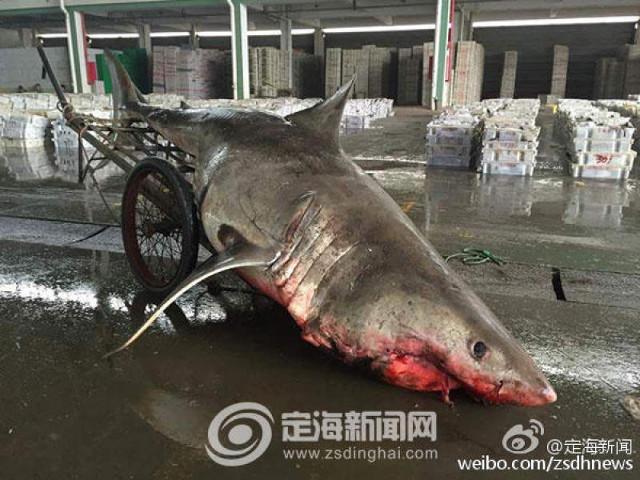China_great_white_shark