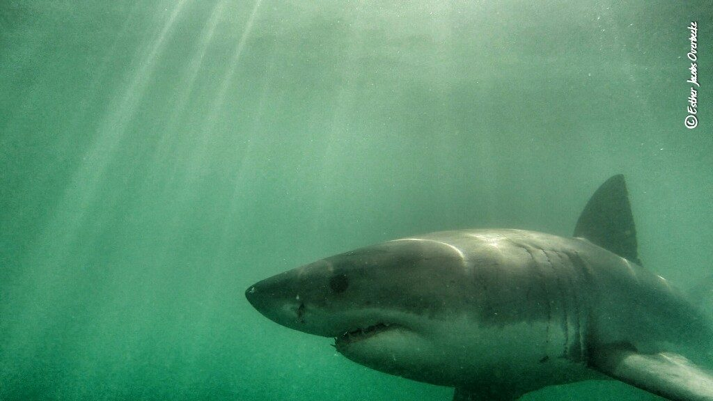 Esther_J_Overbeeke_great_white_shark