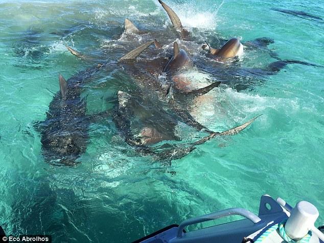 Eco_Abrolhos_tiger_shark_feeding_frenzy_Western_australia_3