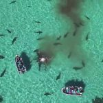 70 Tiger Sharks Feast on a Whale