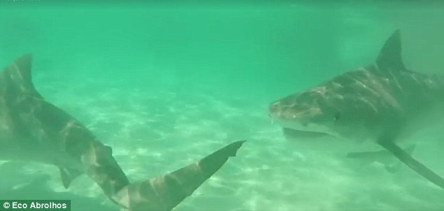 Eco_Abrolhos_tiger_shark_feeding_frenzy_Western_australia_8