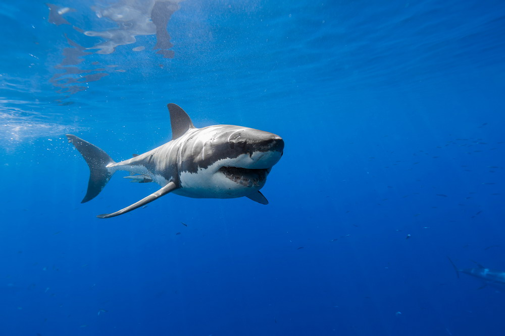 George T. Probst_happy-shark