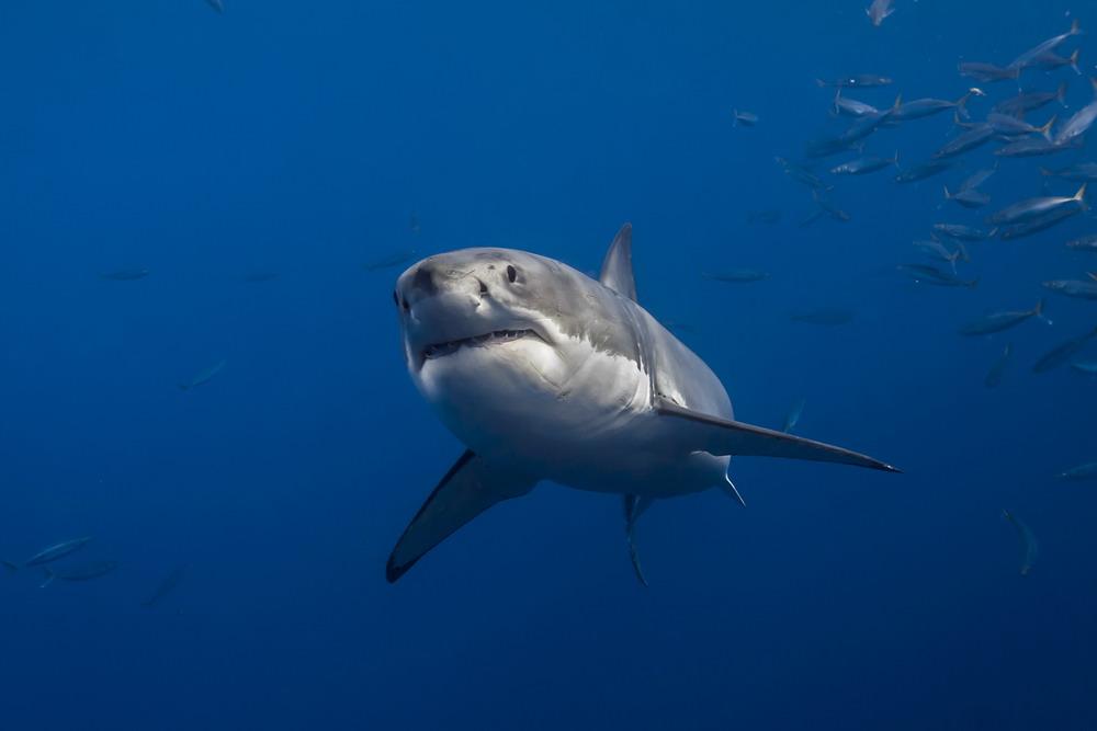 Normal White Shark Behavior by George T. Probst