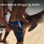 Tiger Shark Saved in Hawaii