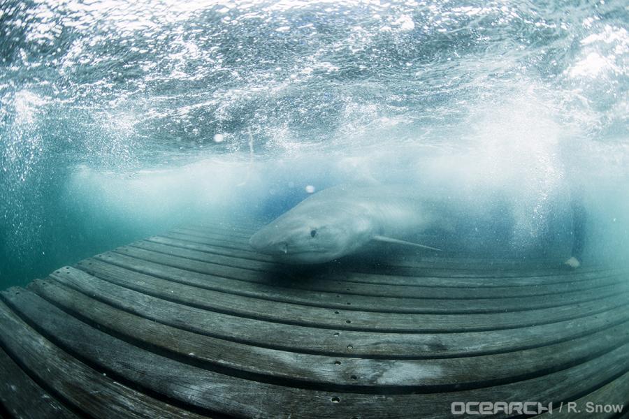 Maroochy_tiger_shark_OCEARCH