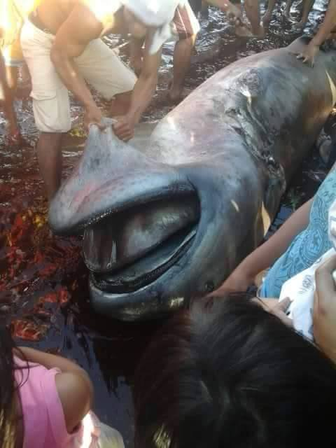 has the 62nd rare megamouth shark been found tracking sharks